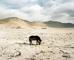'Brown Donkey In New Dingri' - Tibet